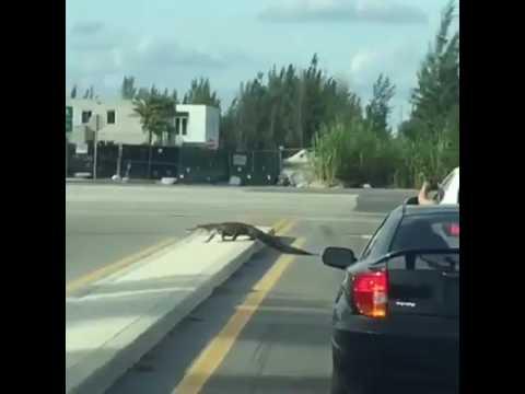 Un caimán detiene el tráfico mientras pasea por las calles de Doral