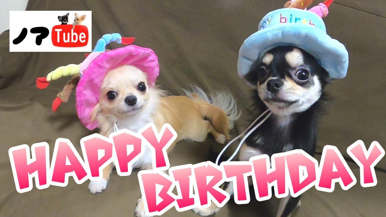 初めてお誕生日を迎えるチワワ…記念撮影とケーキでお祝い!/チワワのノア #164