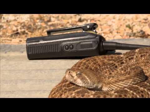 Richard Hammond talks to a rattlesnake - Richard Hammond's Miracles of Nature - BBC One