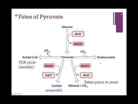 095-Glycolysis Summary; Fates of Pyruvate