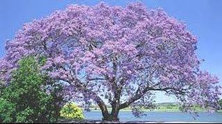 باولونيا ،شجرة الأميرة paulownia