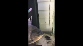 Fish Enjoying a Blueberries Quick Snack