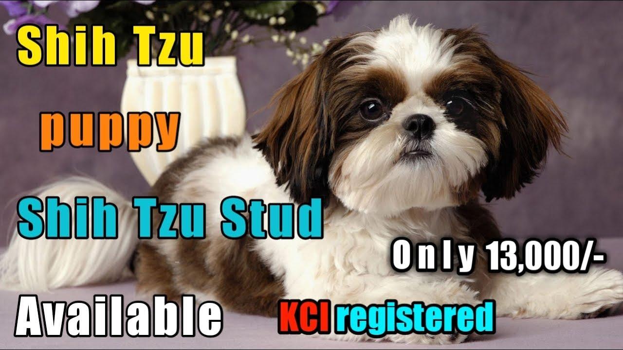 Shih Tzu Puppy For In Delhi