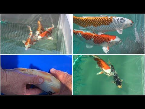 My Koi Breeding Project - Part 29 - Kujaku Spawning - Part 1