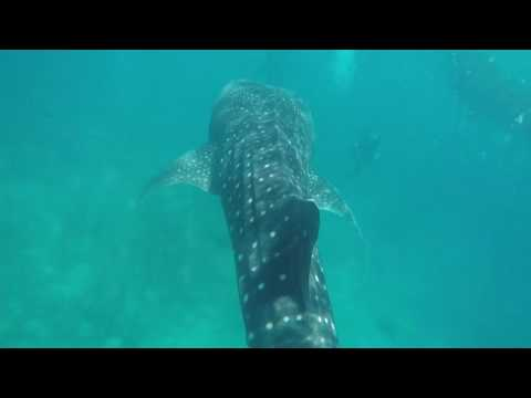 swimming with whale shark in Oslob,Cebu Philippines🐋