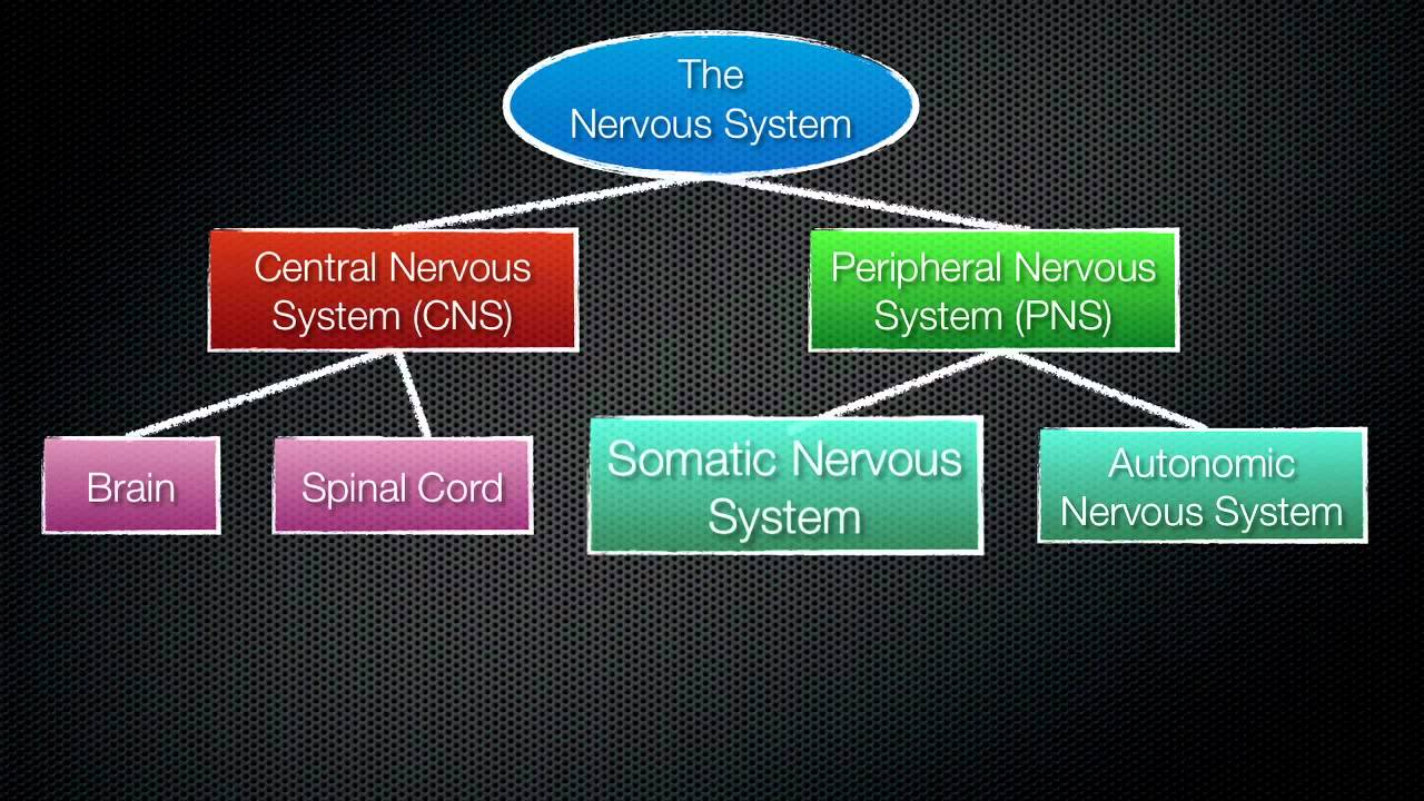 063 the divisions of the nervous system [ 1280 x 720 Pixel ]
