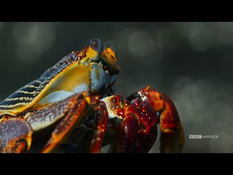Planet Earth: Blue Planet II | Crabs vs. Eels | Coming to BBC America 2018
