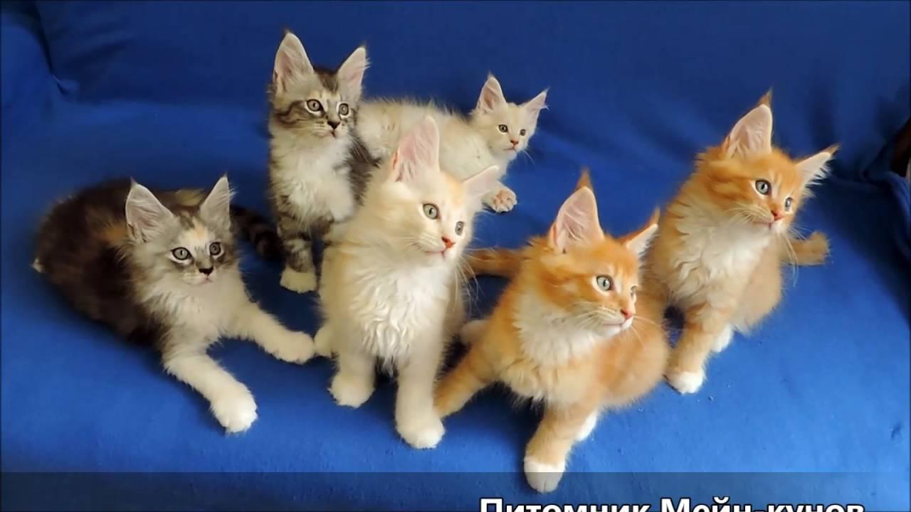 Объявления о продаже взрослых кошек и котят в санкт-петербурге: шотландские, вислоухие, британские, бенгальские, персидские коты, мейн куны по доступным ценам. Купите породистого котенка недорого на юле.