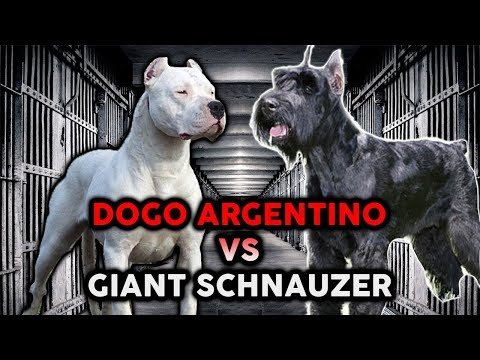 DOGO ARGENTINO VS GIANT SCHNAUZER! The Best Guard Dog Breed!