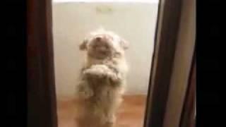 Собачка танцует румбу