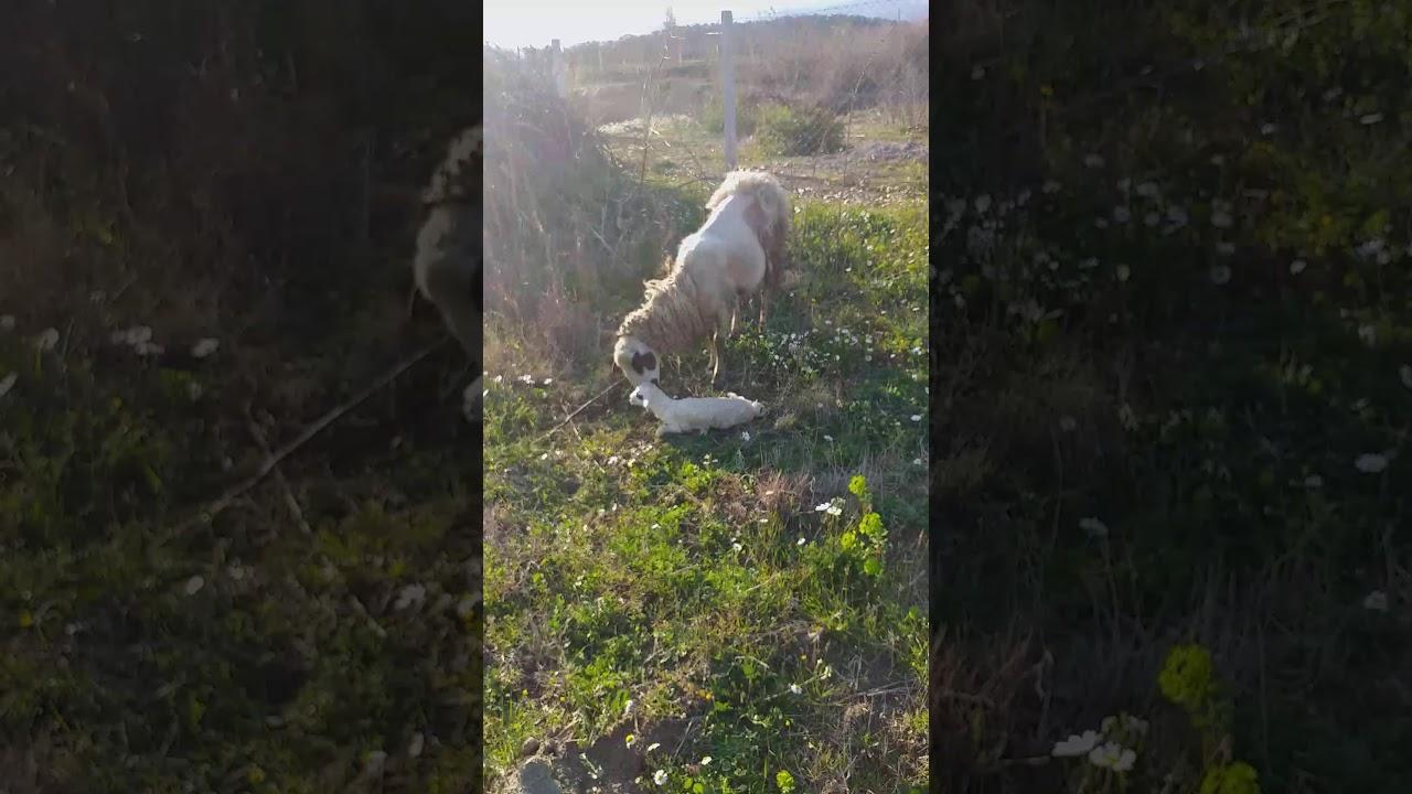 Koyun doğurma Ani Koyun Kendisi Doğurdu