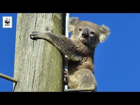 Rescataron a un koala que pasó dos días sin poder bajar de un poste