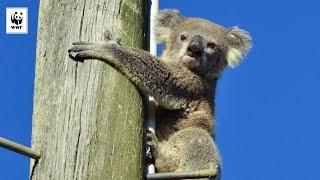 Koala Found Clinging To A Power Pole | WWF-Australia