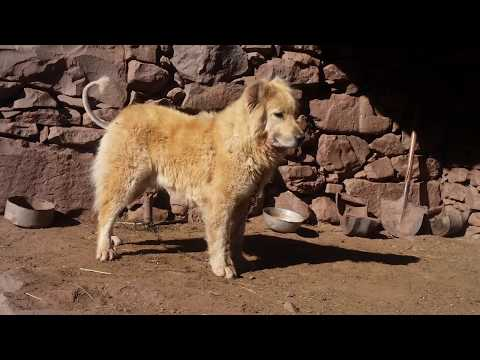 Aggression of a Bakarwal Dog | Gaddi Dog Barking | Tibetan Mastiff