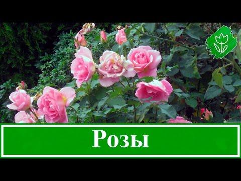 Кустовые розы – как вырастить: посадка и уход за розами, размножение и обрезка роз