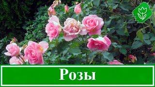 Кустовые розы – как вырастить: посадка и уход за розами, размножение и обрезка роз(Кустовые розы – описание. Выращивание роз в саду – особенности. Как и когда сажать розы: посадка розы осень..., 2016-05-23T12:12:27.000Z)