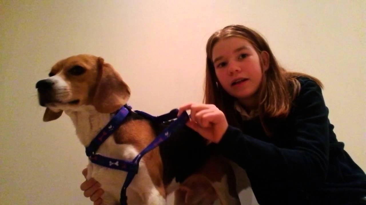 Tuto 2 Comment mettre et ajuster un harnais a son chien ...