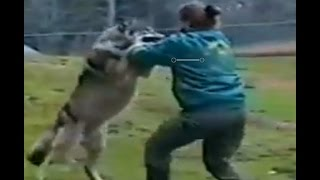 wolf attacks the zoo keeper