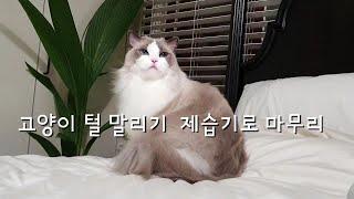 고양이 목욕 후 털말리기 제습기로 털말리기 Ragdoll Cat Lucy
