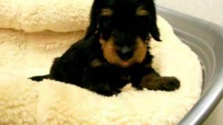 犬種:ミニチュアダックス(ワイヤーヘアー)/URL:http://www.nipponpe...