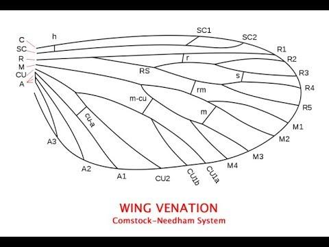 Basic Insect Wing Venation Explained Youtube