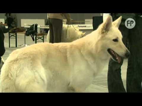 Poważne Biały Owczarek Szwajcarski - Pies dla aktywnych - YouTube LZ74