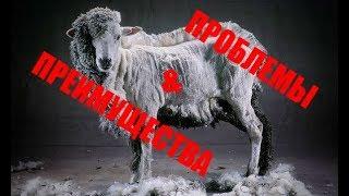 Условия разведения овец. Проблемы и преимущества овцеводства.
