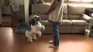 ポリッシュローランドシープドッグの ころ♂ 2才です。犬芸歴9ヶ月。 ...