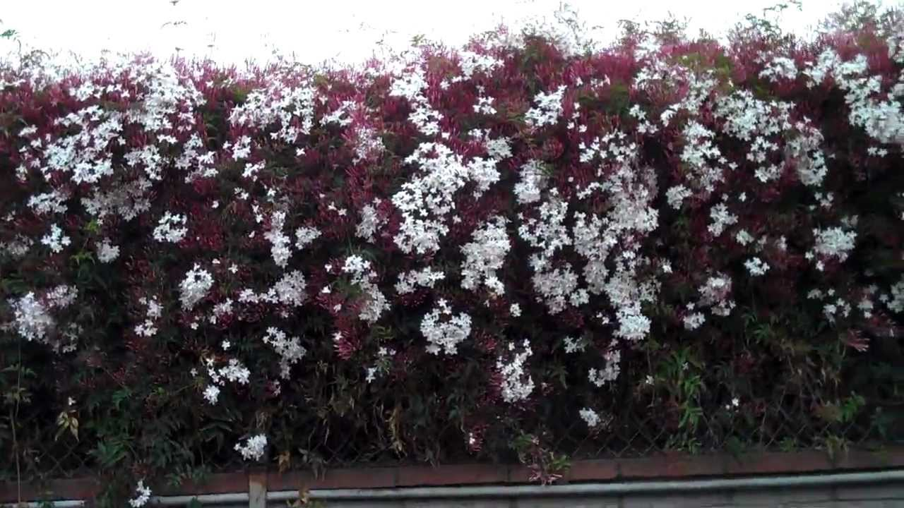 Wall of pink jasmine with trixie edison youtube izmirmasajfo