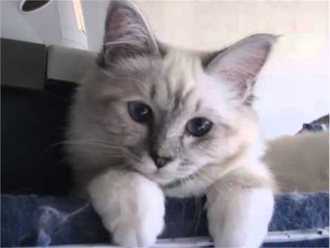 Birman Kitten - Cat Pictures