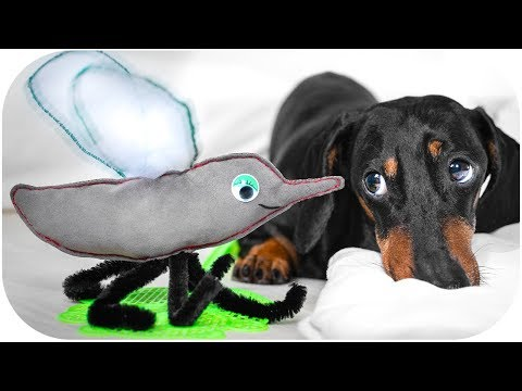 Buzzing Mosquito! Funny dachshund dog video!