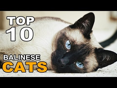TOP 10 CUTE AND FUNNY BALINESE CATS BREEDS