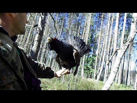 глухарь токует на руке!!! - Wood grouse in the hand! - Wildlife Belarus