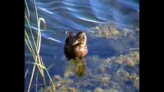 Утенок серой утки