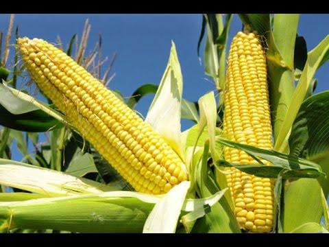 Culture du maïs : semis, plantation, entretien et récolte