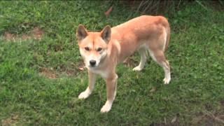 Австралийский динго / Dingo (Australian Native Dog)