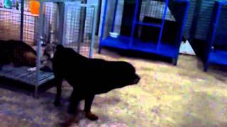 หมาขาไม่มีแรง My Rottweiler Hurts.