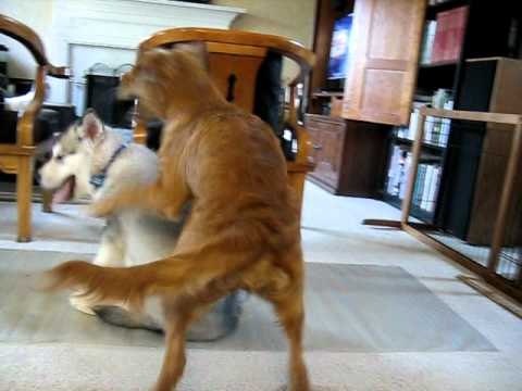 Alaskan Malamute And Golden Retriever Youtube