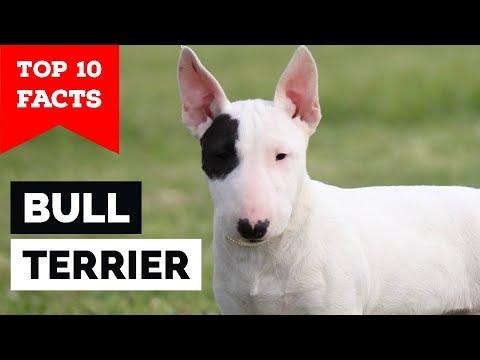 Bull Terrier  Top 10 Facts (Cavalier Gladiator)