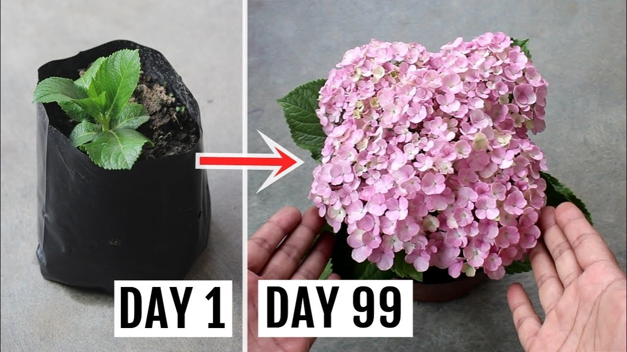 Download How to Grow Hydrangeas in Pots - Feeding, Pruning and Complete Care Guide