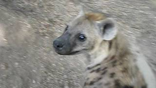 its just a hyena