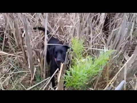Dog Hops Like A Bunny Rabbit | Retriever Hunting Dog Instinct