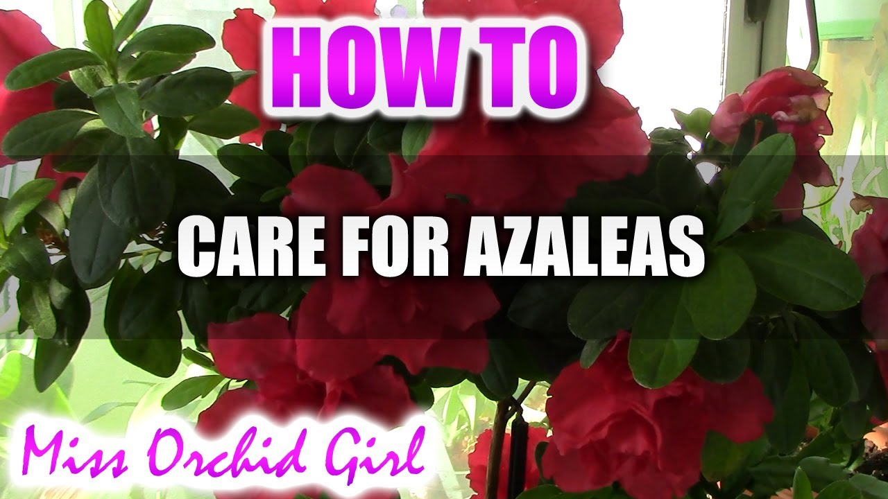 How to care for azaleas youtube for Easy to care for outdoor flowering plants