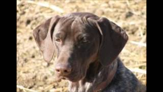 Gun Dog Training In Minnesota | Crow Creel Kennel
