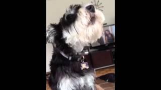 Miniature schnauzer singing to Harry Potter ringtone