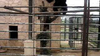 Mallorca Zoo Affe dreht durch