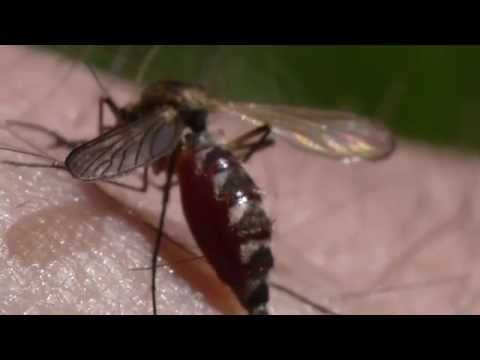 Mosquito drinks too much blood and dies