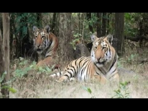 The Tiger - Indicator of Healthy Forest Ecosystem
