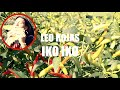 Leo Rojas - Iko Iko Panflute Cover (Chili Garden Session)
