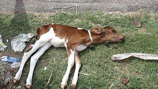 AnimalAid~生後間もなく道端に捨てられていた子ウシの救助作戦